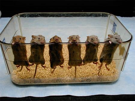 мыши на заборе