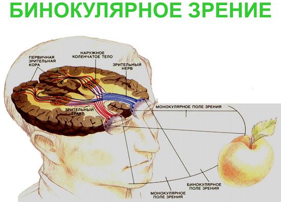 нервный импульс от сетчатки