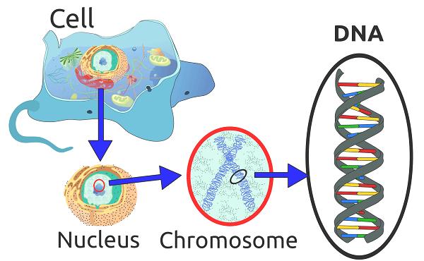 dnk-xromasomy-yadro
