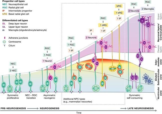 как происходит нейрогенез