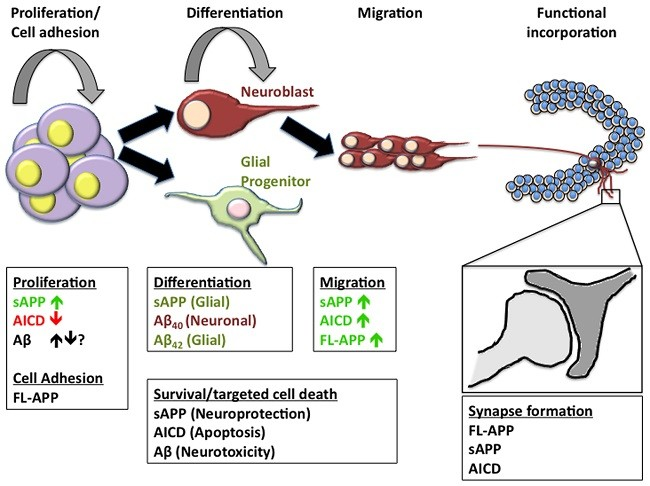 нейрогенез аутофагия