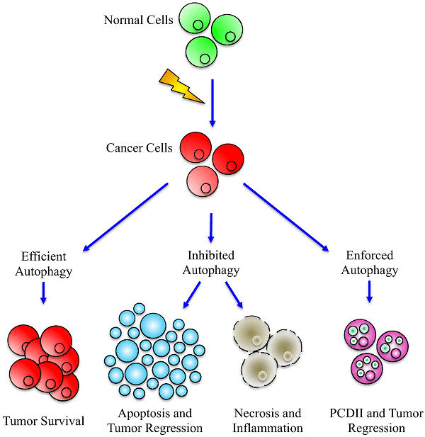 рак и аутофагия