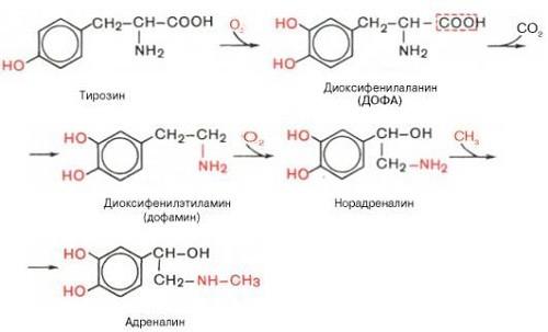 синтез норадреналина