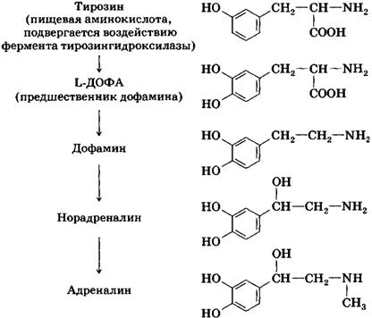 дофамин конвертируется в норадреналин