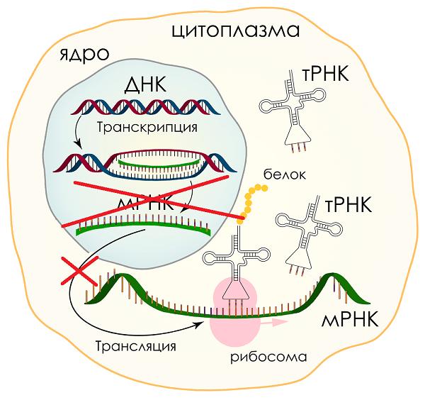 Синтез РНК снизить усилить