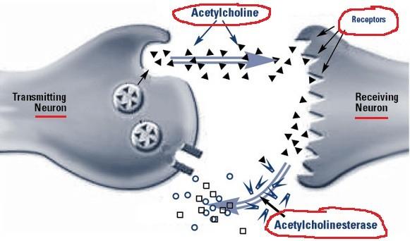 Ацетилхолинэстераза и гиперзин