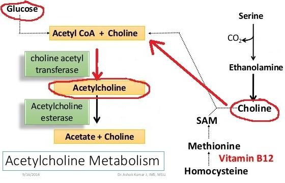 Как создается ацетилхолин