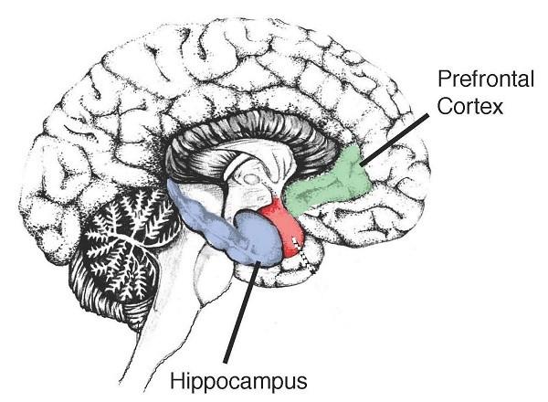 превронтальная кора и гиппокамп