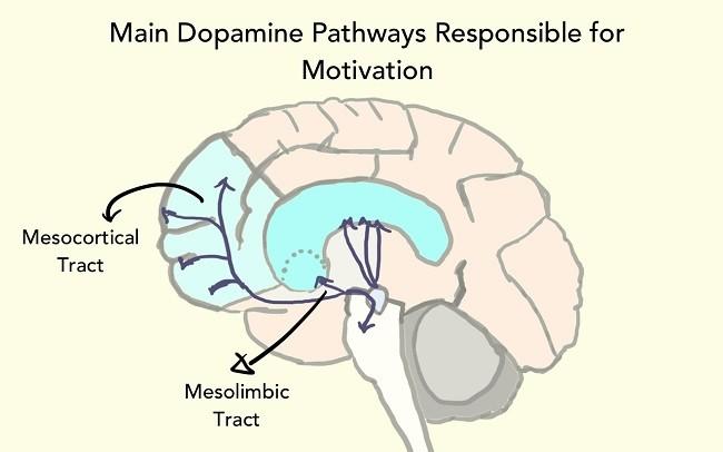 пути распределения дофамина
