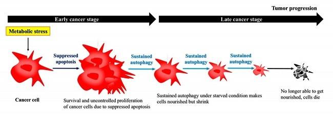 рак и аутофагия 1
