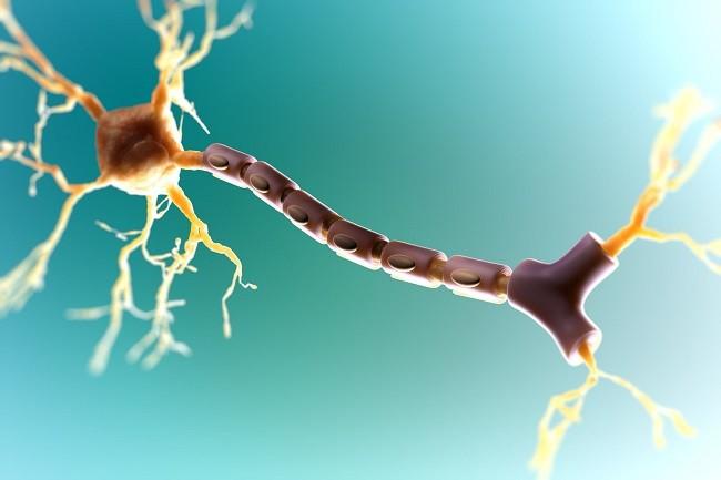 миелин и скорость мозга