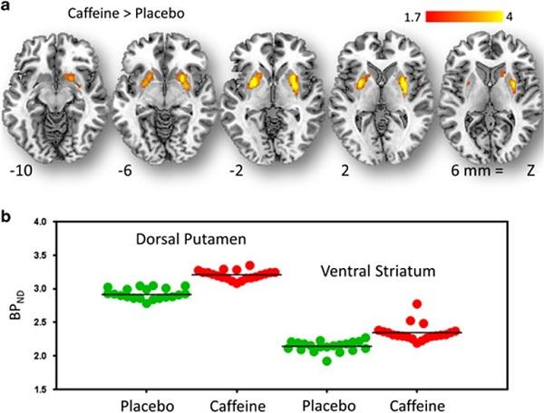 кофеин рецепторы дофамина