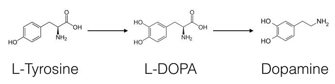 тирозин и дофамин